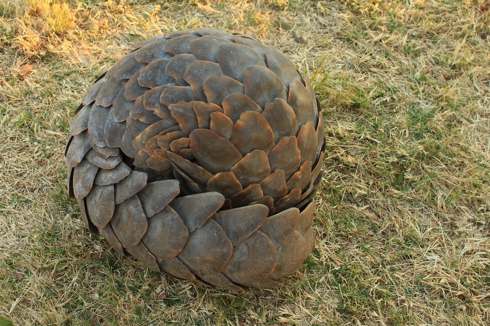 Temminck's ground pangolin (Smutsia temminckii)